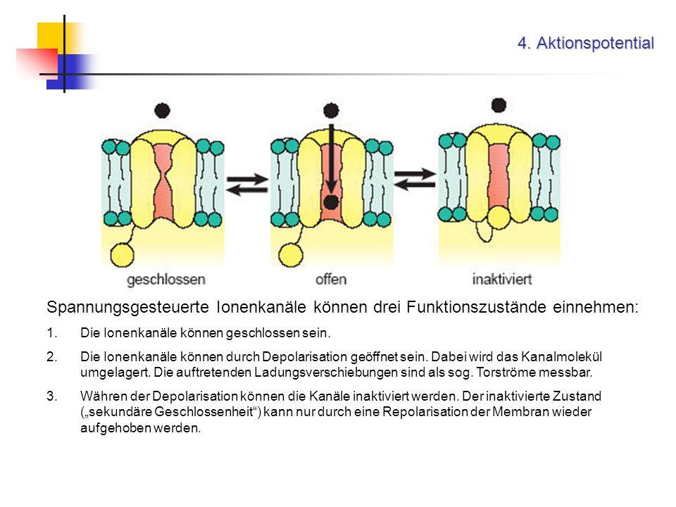 4. Aktionspotential Spannungsgesteuerte Ionenkanäle können drei Funktionszustände einnehmen: Die Ionenkanäle können geschlossen sein.
