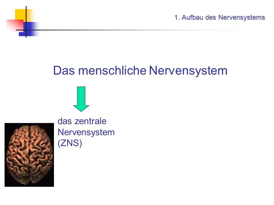 1. Aufbau des Nervensystems