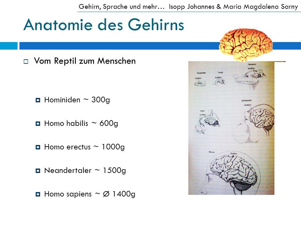 Anatomie des Gehirns Vom Reptil zum Menschen Hominiden ~ 300g