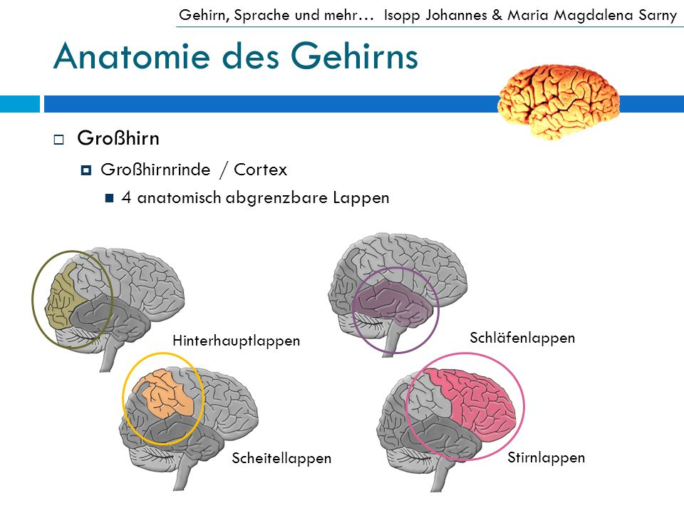 Anatomie des Gehirns Großhirn Großhirnrinde / Cortex