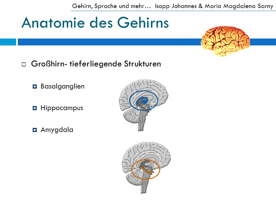 Anatomie des Gehirns Großhirn- tieferliegende Strukturen Basalganglien
