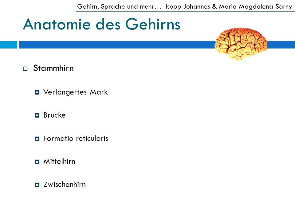 Anatomie des Gehirns Stammhirn Verlängertes Mark Brücke