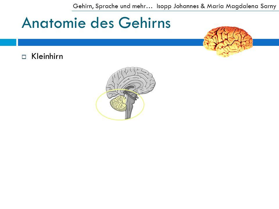 Anatomie des Gehirns Kleinhirn
