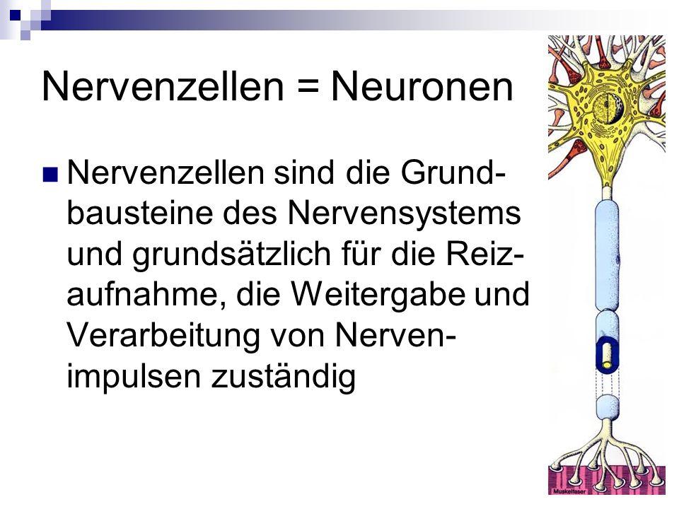 Nervenzellen = Neuronen