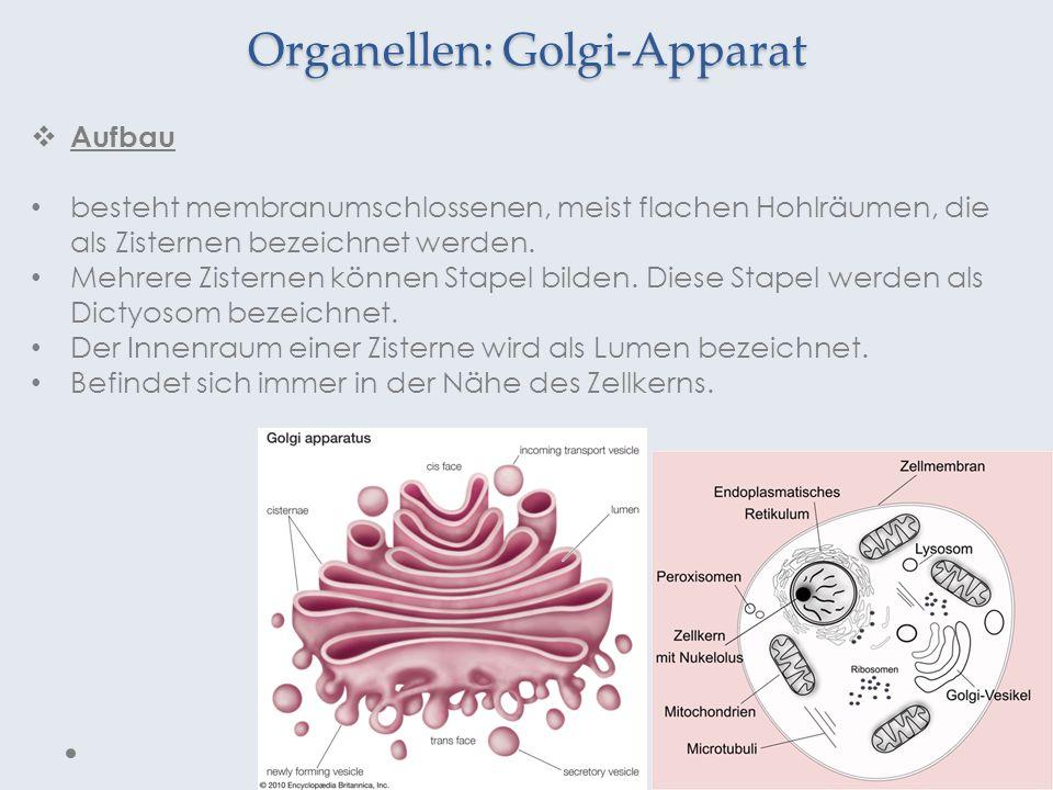 Organellen: Golgi-Apparat