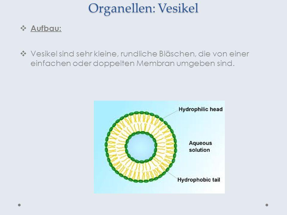 Organellen: Vesikel Aufbau: