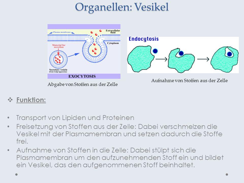 Organellen: Vesikel Funktion: Transport von Lipiden und Proteinen