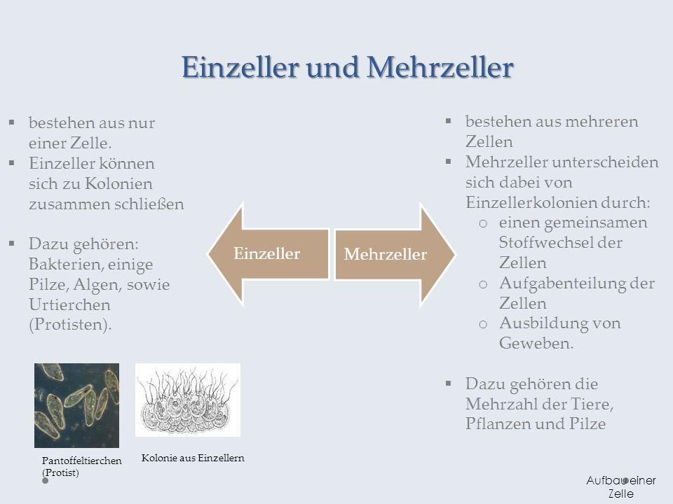 Einzeller und Mehrzeller