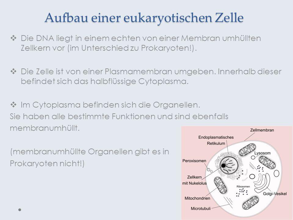 Aufbau einer eukaryotischen Zelle