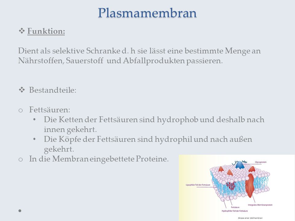 Plasmamembran Funktion: