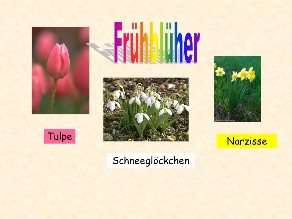 Frühblüher Tulpe Narzisse Schneeglöckchen