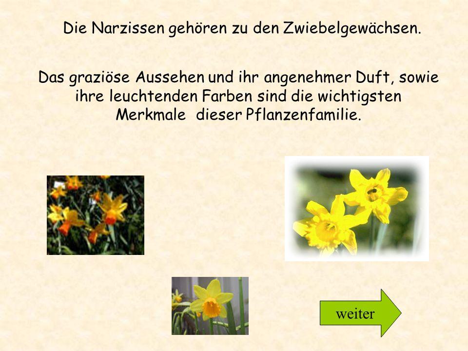 Die Narzissen gehören zu den Zwiebelgewächsen.