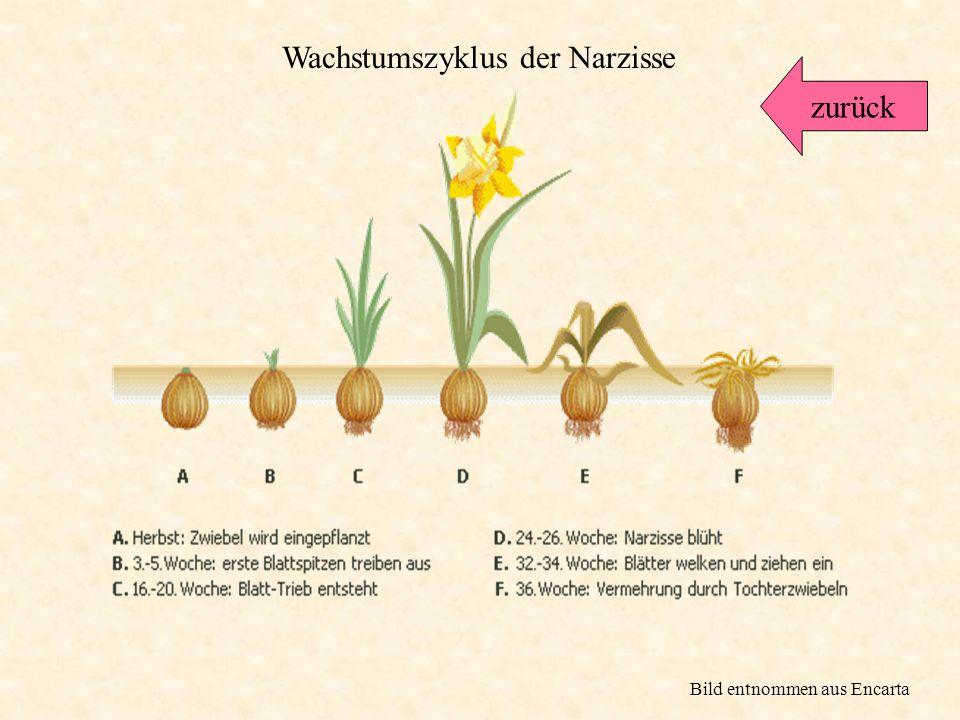 Wachstumszyklus der Narzisse zurück
