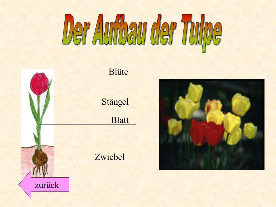 Der Aufbau der Tulpe Blüte Stängel Blatt Zwiebel zurück