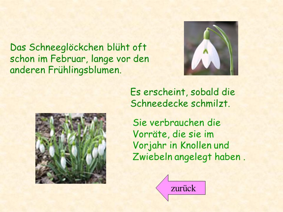 Das Schneeglöckchen blüht oft schon im Februar, lange vor den anderen Frühlingsblumen.