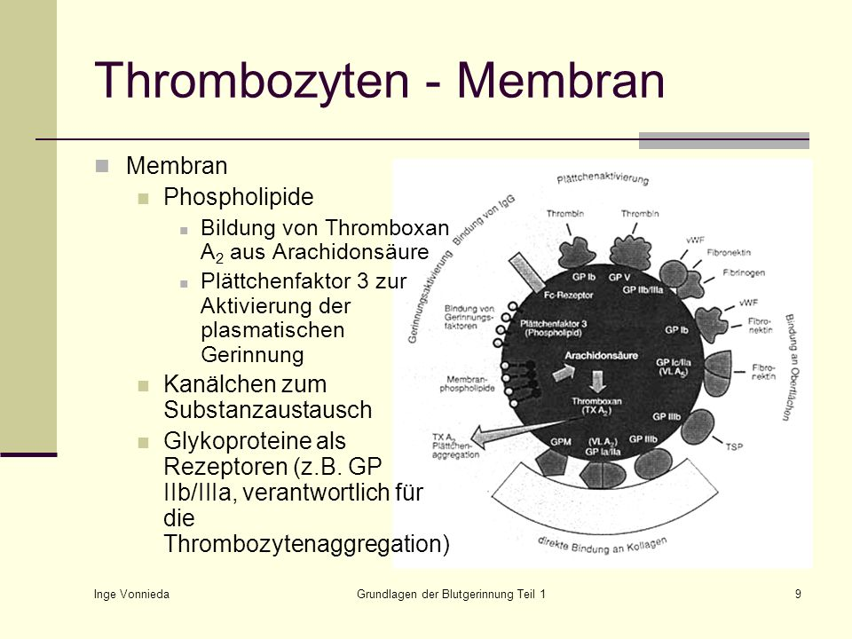 Thrombozyten - Membran