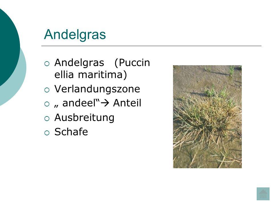 Andelgras Andelgras (Puccinellia maritima) Verlandungszone
