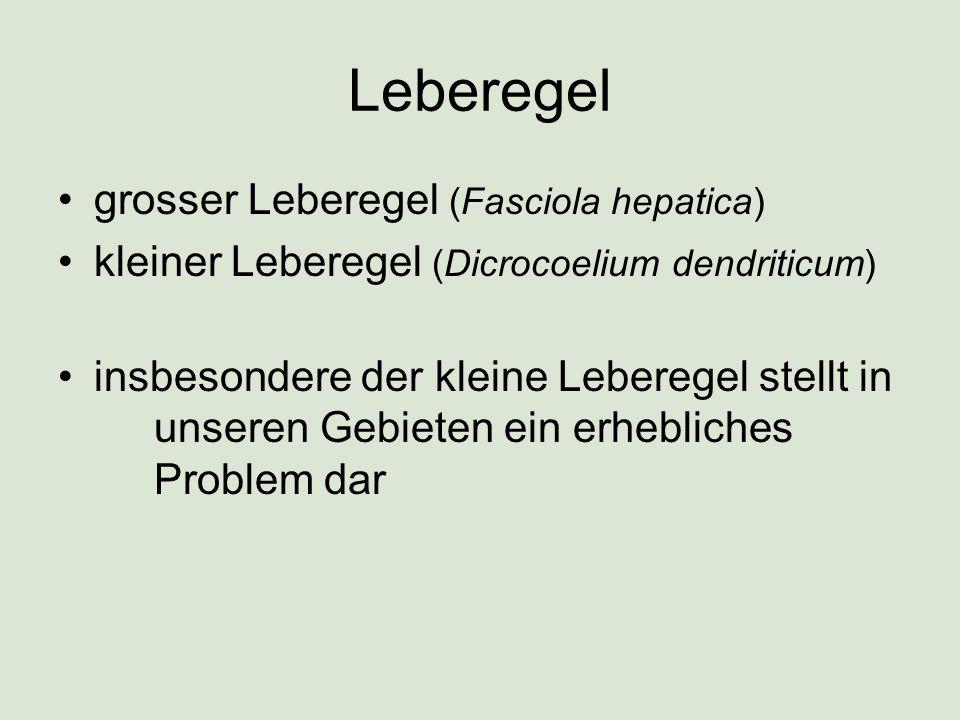 Leberegel grosser Leberegel (Fasciola hepatica)