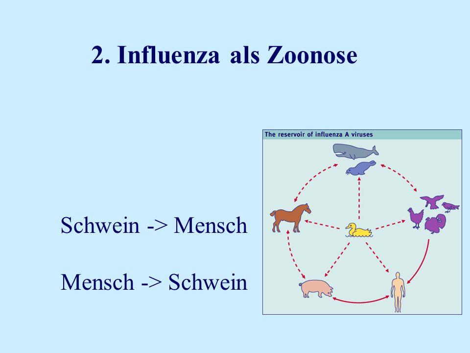 2. Influenza als Zoonose Schwein -> Mensch Mensch -> Schwein