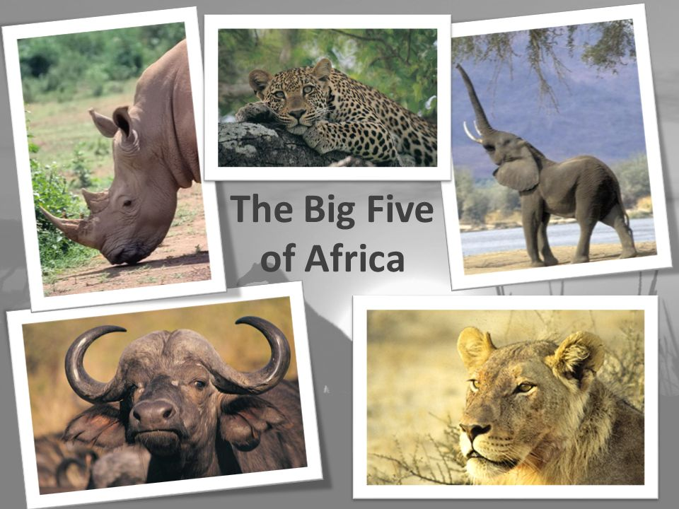 The Big Five of Africa