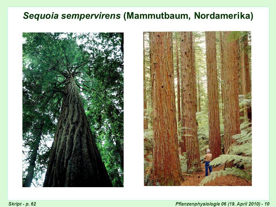 Sequoia sempervirens (Mammutbaum, Nordamerika)