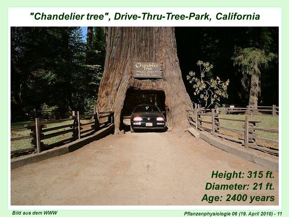 Chandelier tree , Drive-Thru-Tree-Park, California