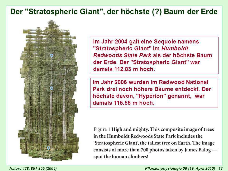 Der Stratospheric Giant , der höchste ( ) Baum der Erde