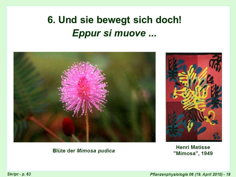 6. Und sie bewegt sich doch! Blüte der Mimosa pudica