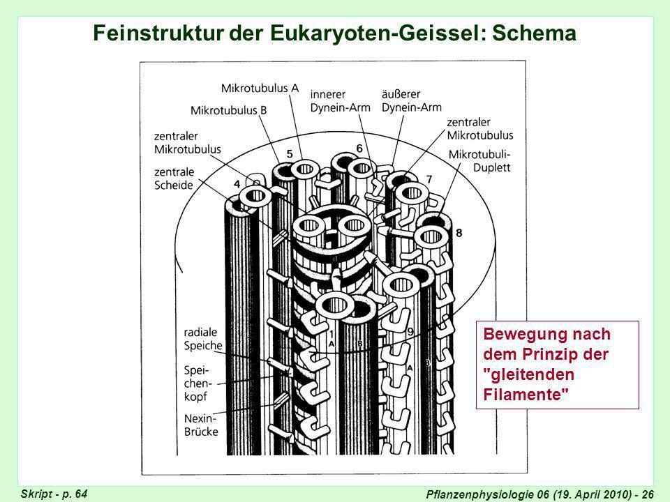 Feinstruktur der Eukaryoten-Geissel (III)