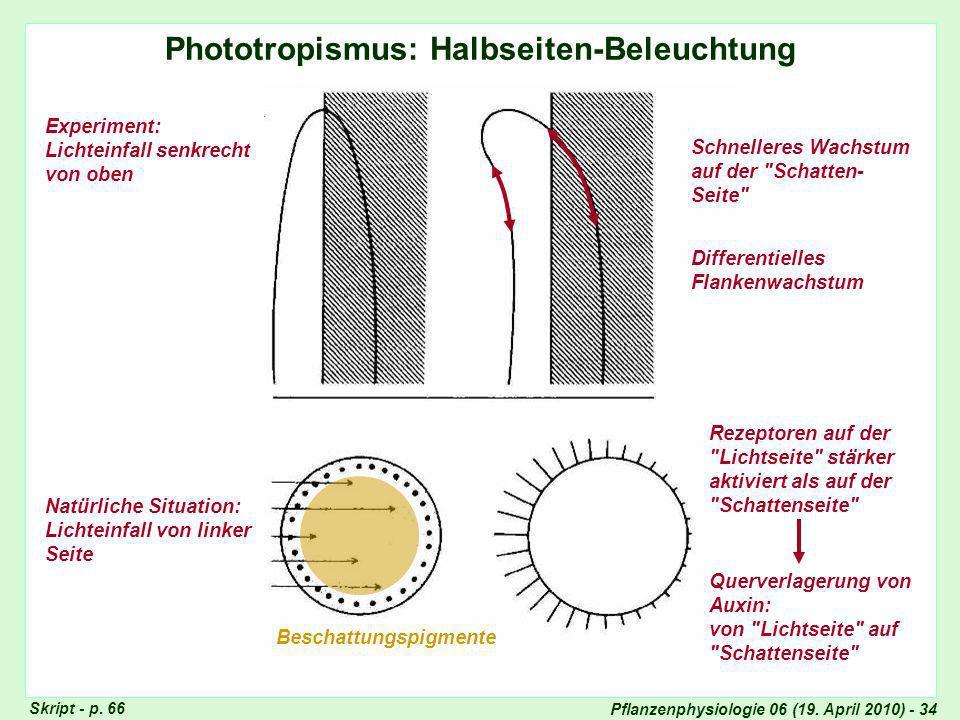 Phototropismus: Halbseiten-Beleuchtung