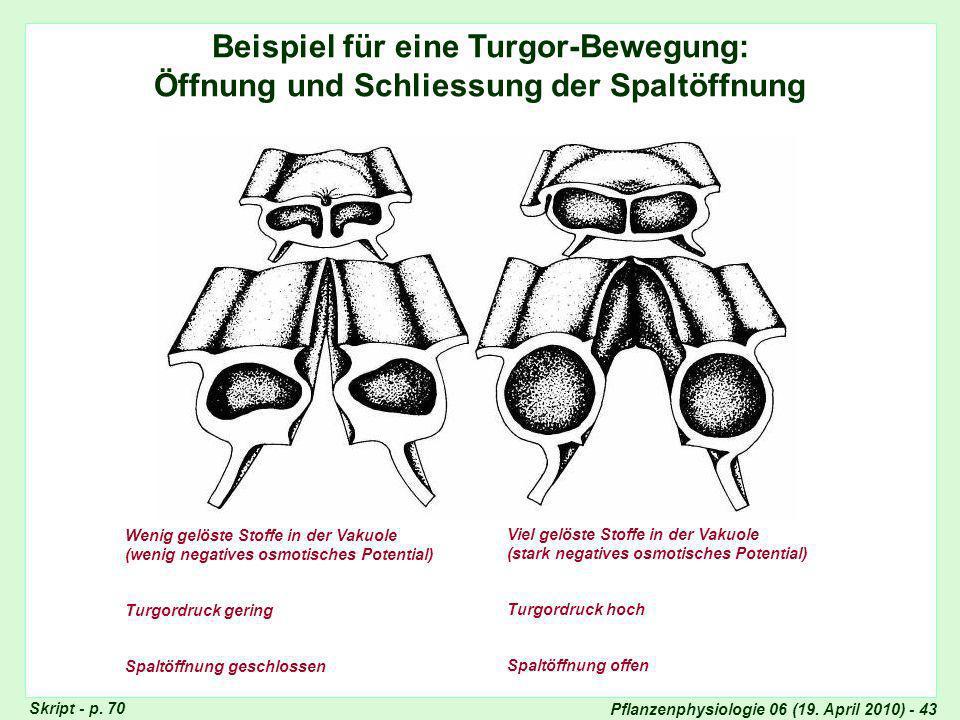 Turgor-Bewegung: Spaltöffnung