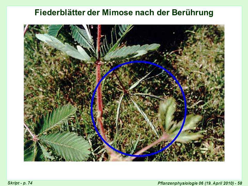 Fiederblätter der Mimose nach der Berührung