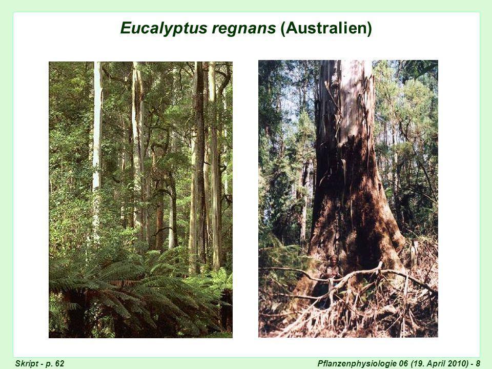 Eucalyptus regnans (Australien)