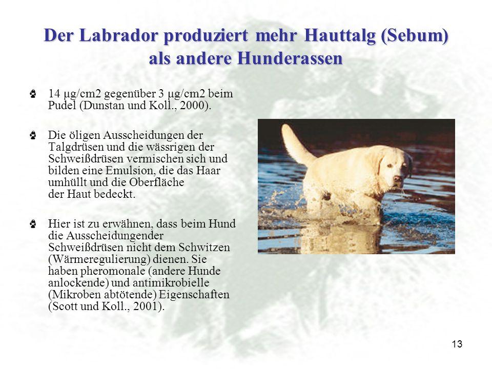 Der Labrador produziert mehr Hauttalg (Sebum) als andere Hunderassen