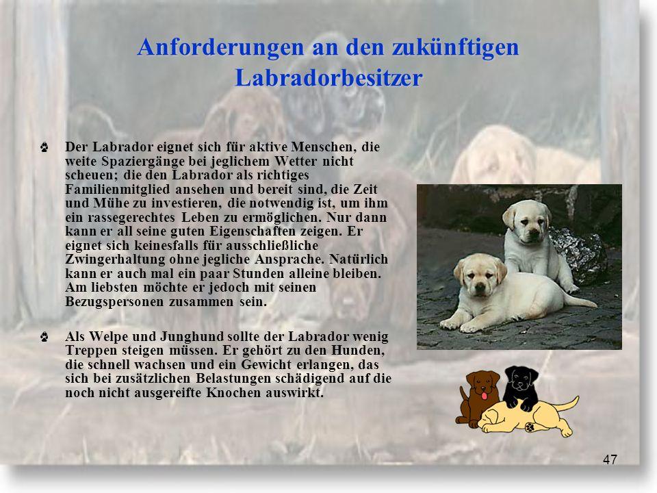 Anforderungen an den zukünftigen Labradorbesitzer