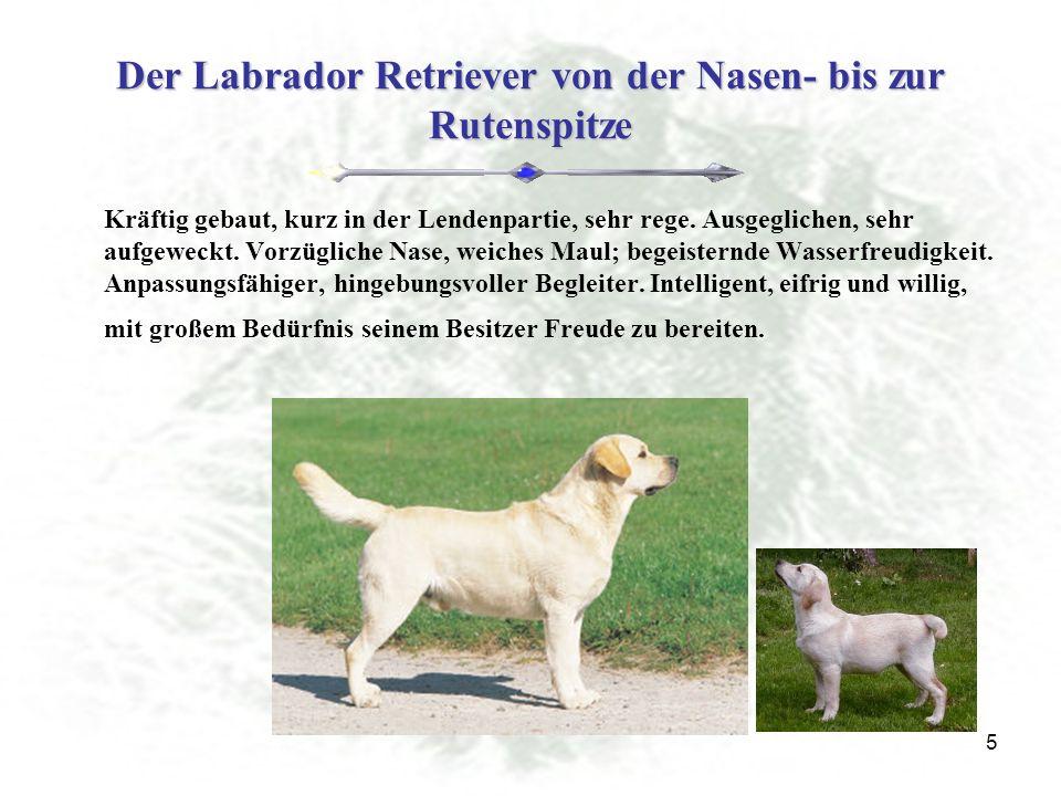 Der Labrador Retriever von der Nasen- bis zur Rutenspitze