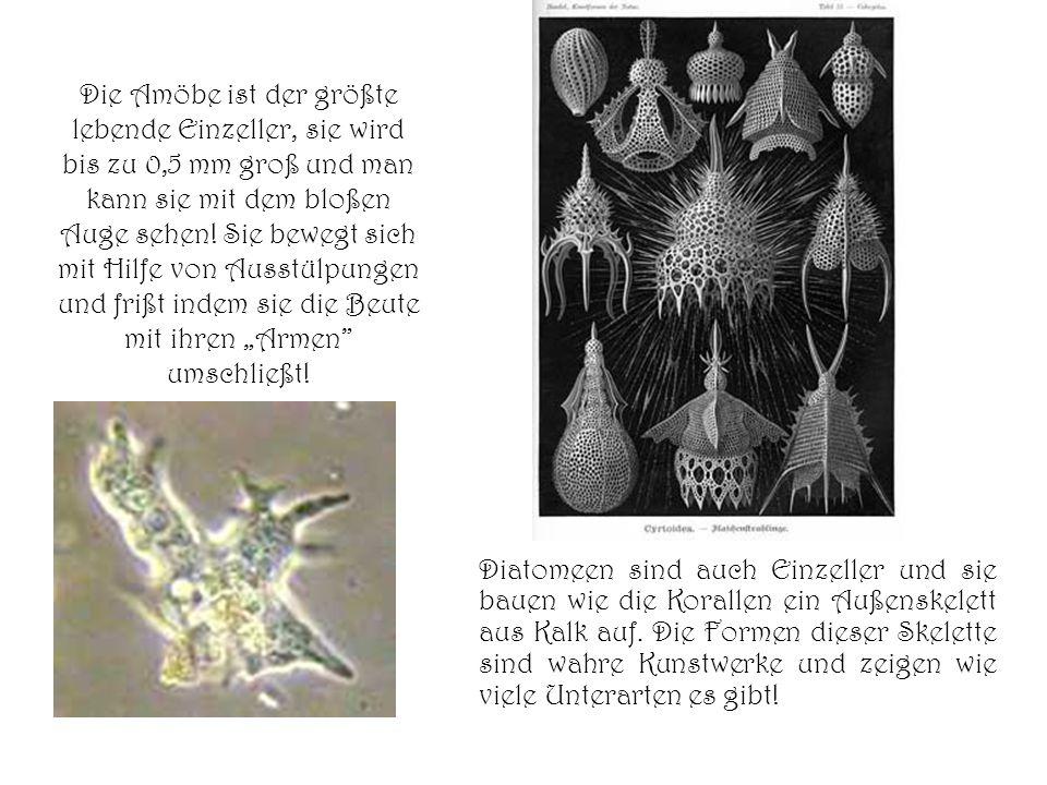 """Die Amöbe ist der größte lebende Einzeller, sie wird bis zu 0,5 mm groß und man kann sie mit dem bloßen Auge sehen! Sie bewegt sich mit Hilfe von Ausstülpungen und frißt indem sie die Beute mit ihren """"Armen umschließt!"""