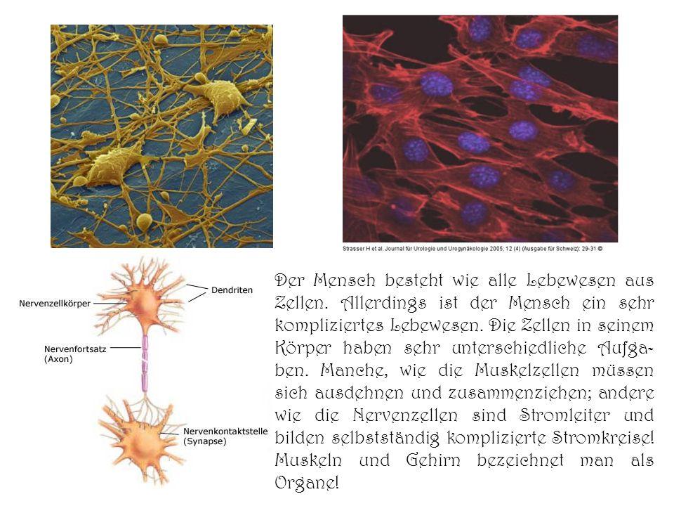 Der Mensch besteht wie alle Lebewesen aus Zellen