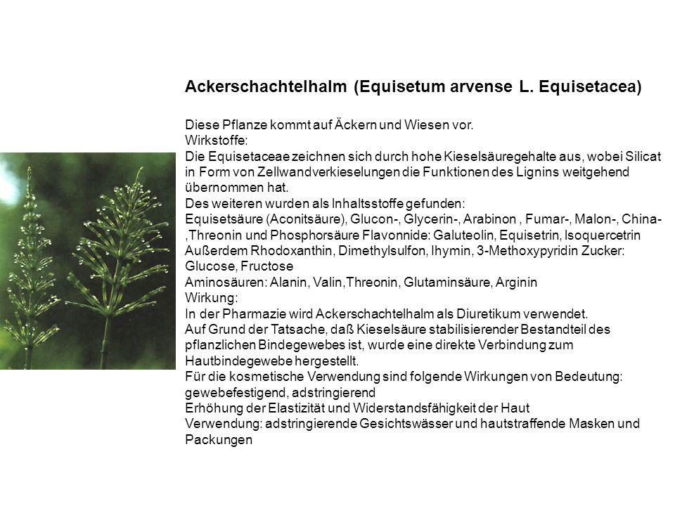 Ackerschachtelhalm (Equisetum arvense L. Equisetacea)