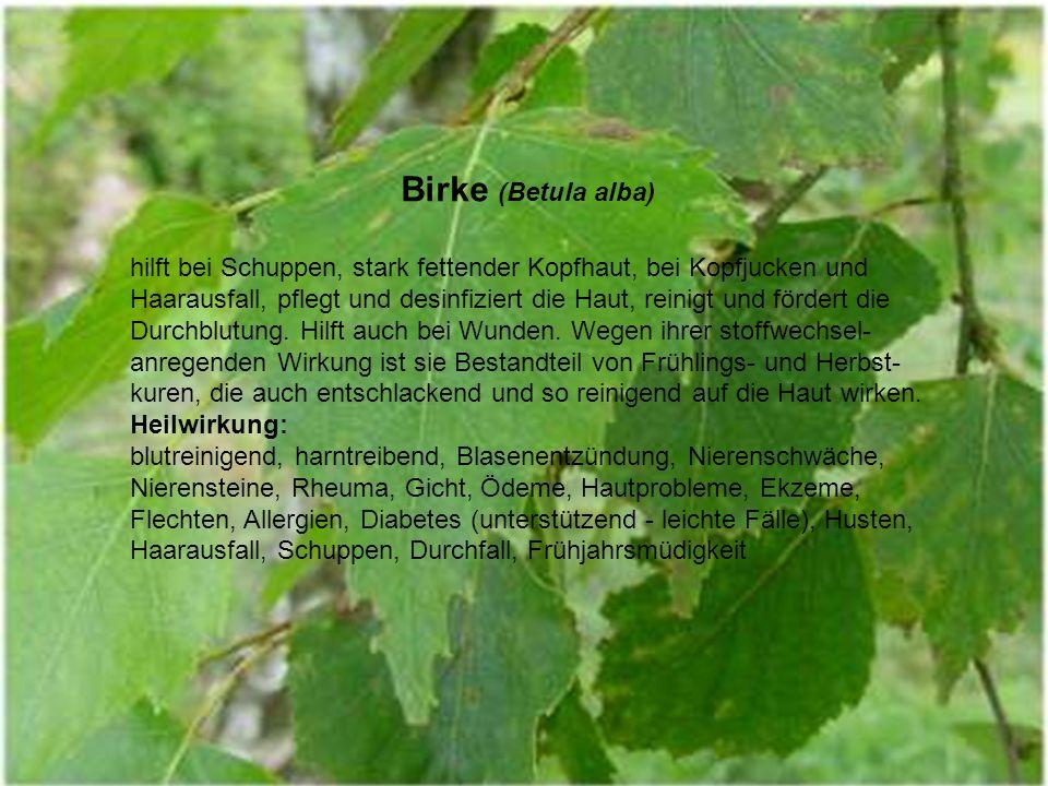 Birke (Betula alba)