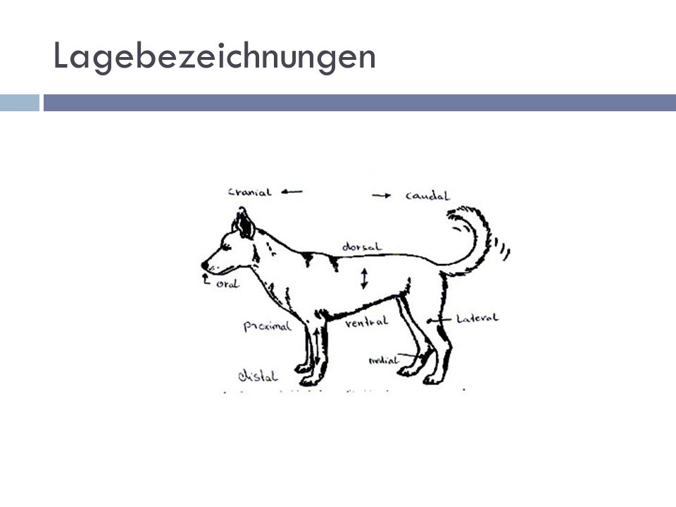Anatomie Hund und Katze. - ppt video online herunterladen