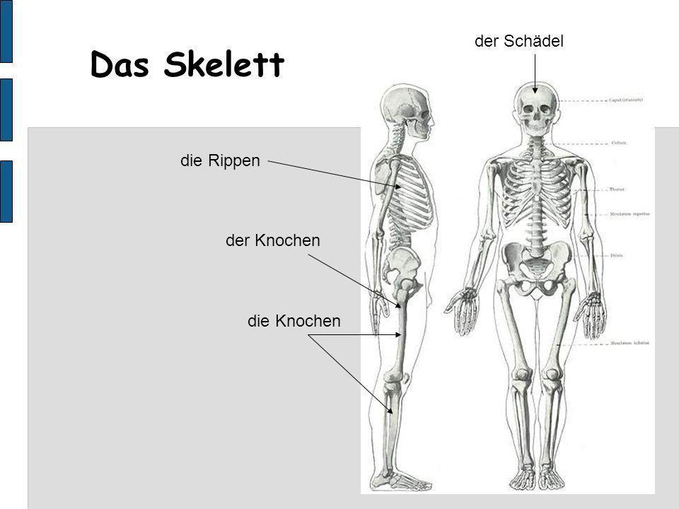 der Schädel Das Skelett die Rippen der Knochen die Knochen