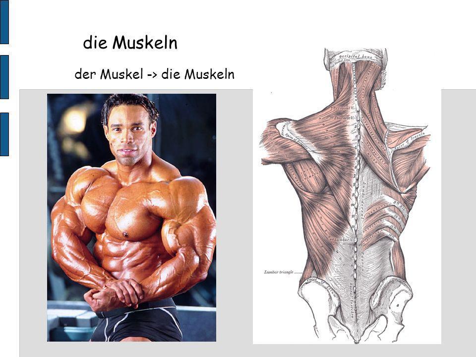 der Muskel -> die Muskeln