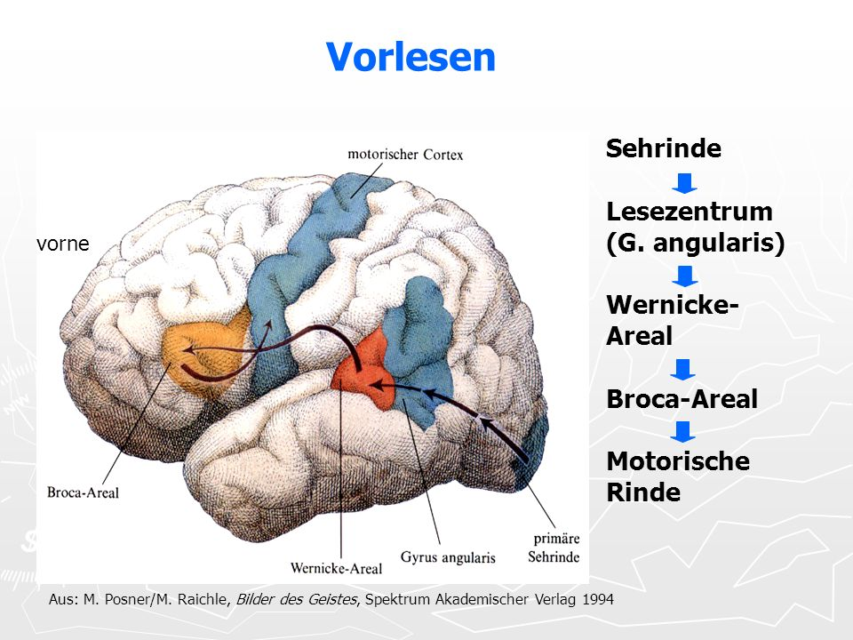 Vorlesen Sehrinde Lesezentrum (G. angularis) Wernicke-Areal