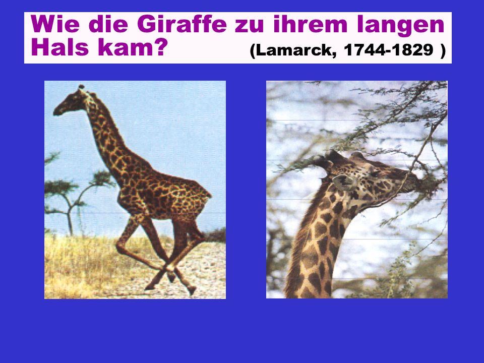 Wie die Giraffe zu ihrem langen Hals kam (Lamarck, 1744-1829 )