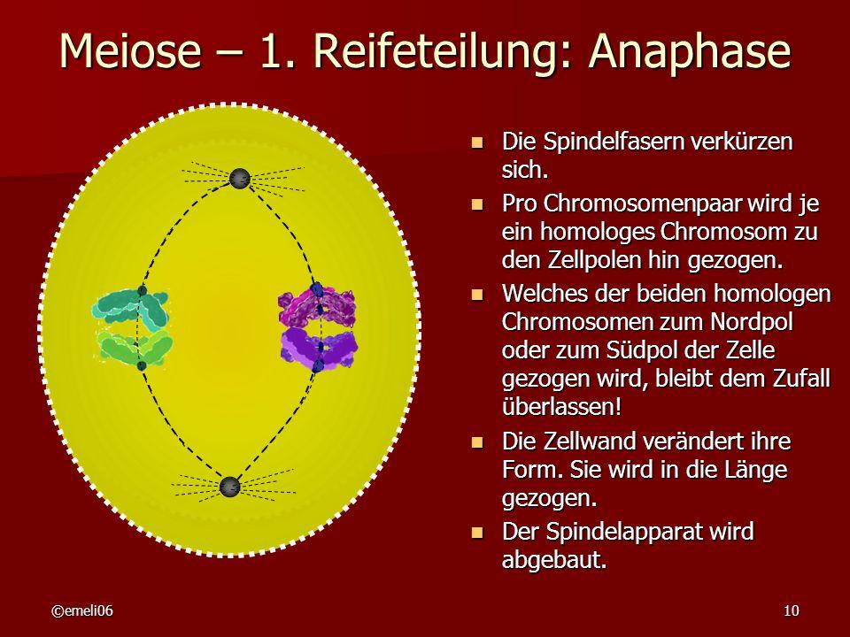 Meiose – 1. Reifeteilung: Anaphase