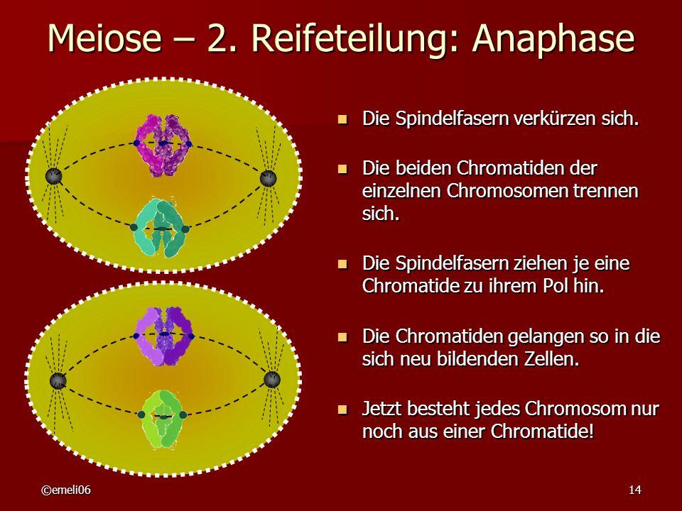 Meiose – 2. Reifeteilung: Anaphase