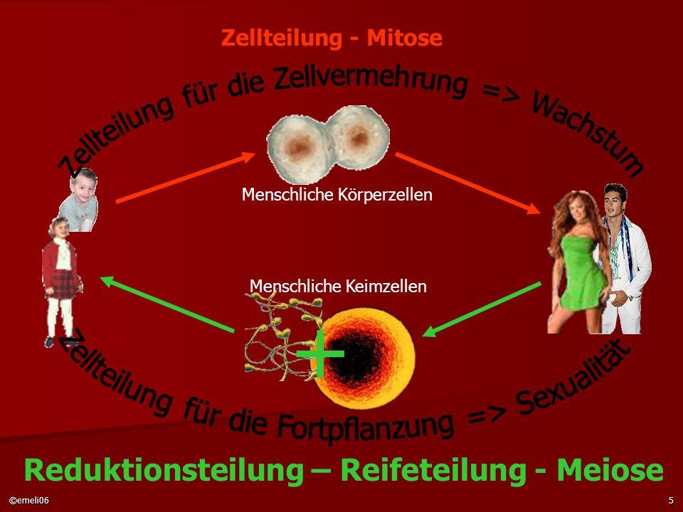 + Reduktionsteilung – Reifeteilung - Meiose