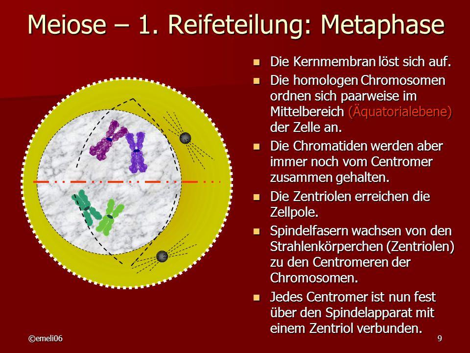 Meiose – 1. Reifeteilung: Metaphase