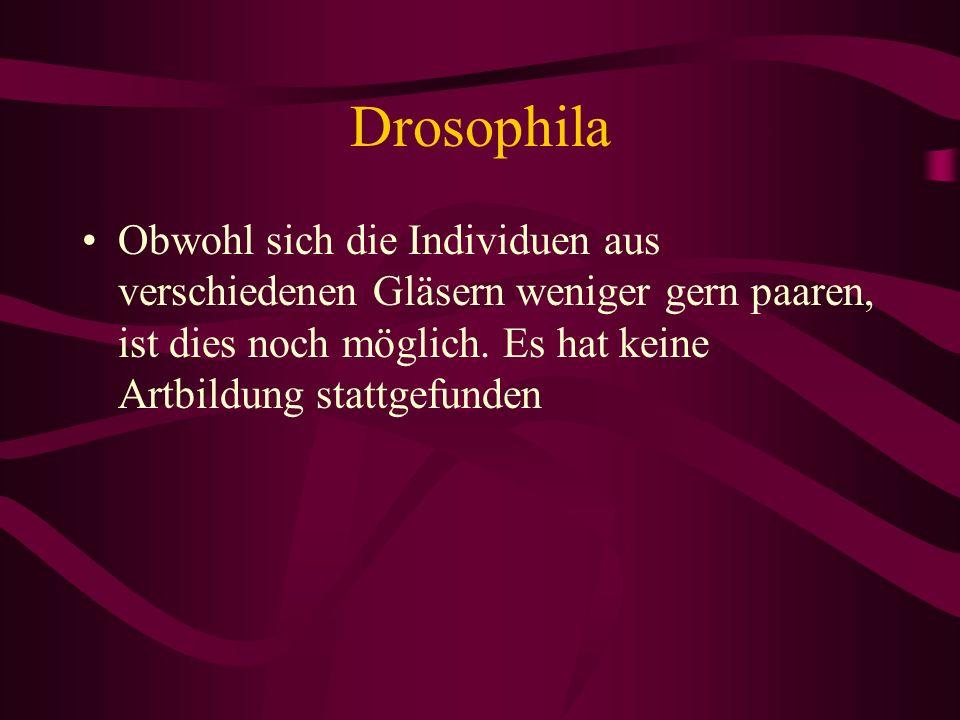Drosophila Obwohl sich die Individuen aus verschiedenen Gläsern weniger gern paaren, ist dies noch möglich.